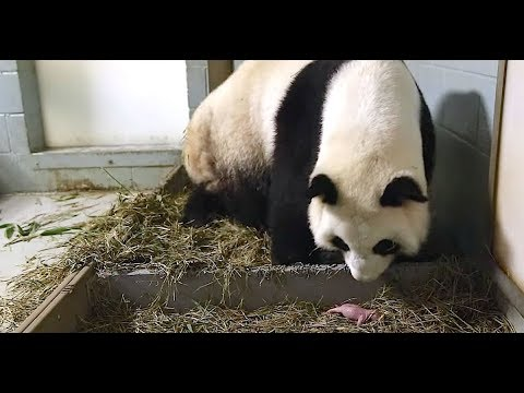 Momma Panda Was Captivated By Her Newborn Baby. But When Carers Look Closer They are Stunned