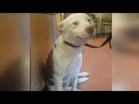 When This Pit Bull Realizes His Family Is Giving Him Up, His Reaction Will Bring A Tear To Your Eye