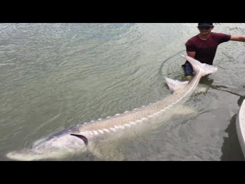 Teen Shocks Everyone When He Reels In 10 Ft Long 650 Lb White Sturgeon From River