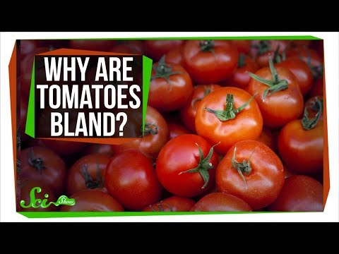 Why Do Tomatoes Taste So Bland?