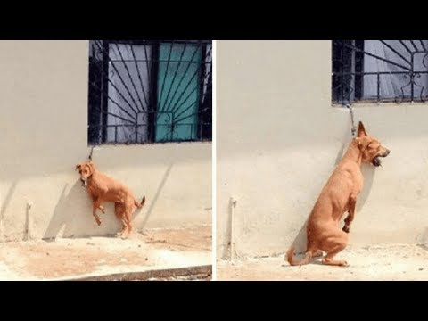 Fury Arises as Dog Tied to Short Chain is Forced to Stand on Back Legs All Day in Sweltering Heat