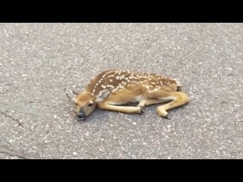 Man Sees Deer Sleeping on Road Then Looks Closer