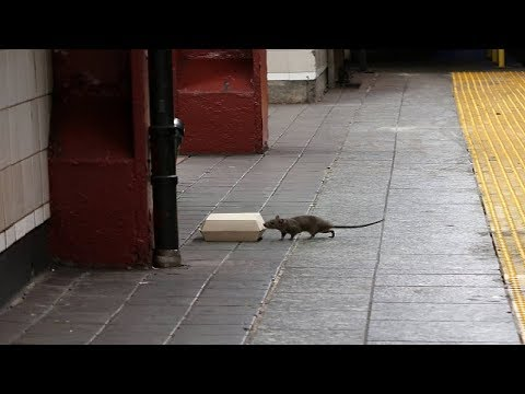 New York Is Overrun by Rats, yet We Know Almost Nothing about Their Underground Kingdom