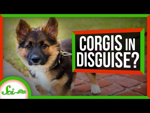 Why Do Corgi Mixes Always Look Like Corgis?